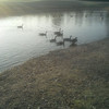 at the park, feeding the geese!!!! soo peaceful!!!<br /> <br /> Photographer's Name: sheelah schmidt<br /> Photographer's City and State: anderson, IN