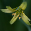 Gullstjerne / Yellow Star-of-Bethlehem<br /> Linnesstranda, Lier 21.4.2011<br /> Canon EOS 50D + EF 100 mm F/2,8 Macro