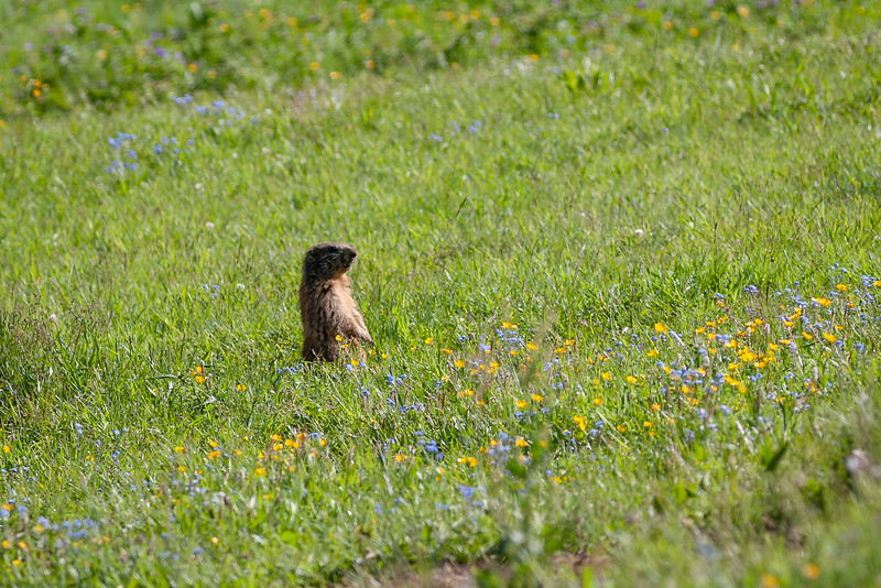 Alpemurmeldyr / Alpine Marmot<br /> Dolomittene, Italia 16.7.2008<br /> Canon EOS 20D + 400 mm 5,6 L