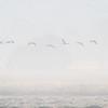Traner i tåke / Cranes in the fog