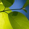 Hegg<br /> LInnesstranda 15.6.2013<br /> Canon EOS 7D + EF 100-400 mm 4,5-5,6 L @ 400 mm