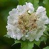 Krossved / Guelder-rose<br /> Linnesstranda, Lier 23.6.2013<br /> Canon EOS 5D Mark II + EF 100 - 400 mm 4,5-5,6 L