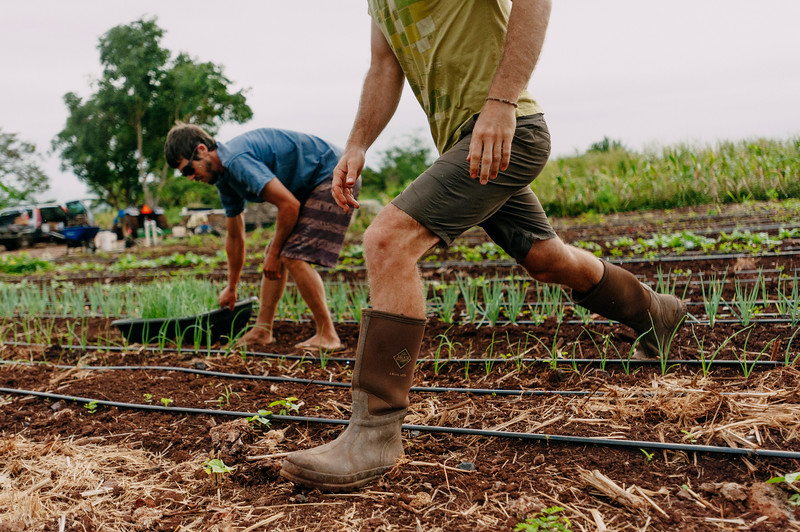 Daniel Leas, left, and Rob Barreca, right, tend to onions on the Counter Culture farm.