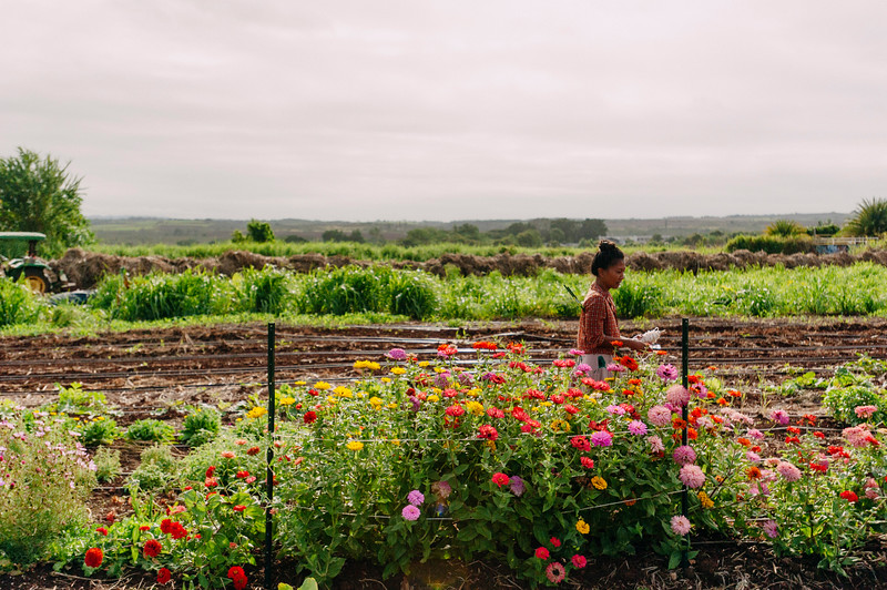 Counter Culture farmer Laarni Gedo works with her flowers in the fields of the North Shore farm.