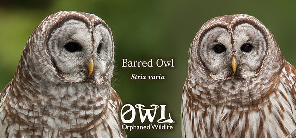 Barred Owl Closeup Mug 001