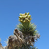 A close up of the Joshua Tree's fruit.