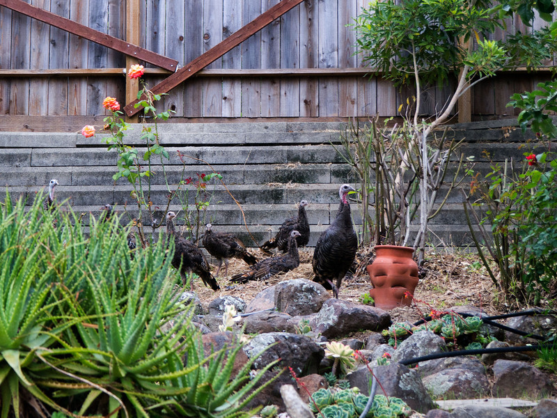Wild Turkeys visit our neighborhood in Oakland. Here they are passing through our back yard.
