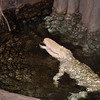 Albino croc at Academy of Sciences in SF eats girl's gold lamay shoe.