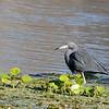 Little Blue Heron, Silver River