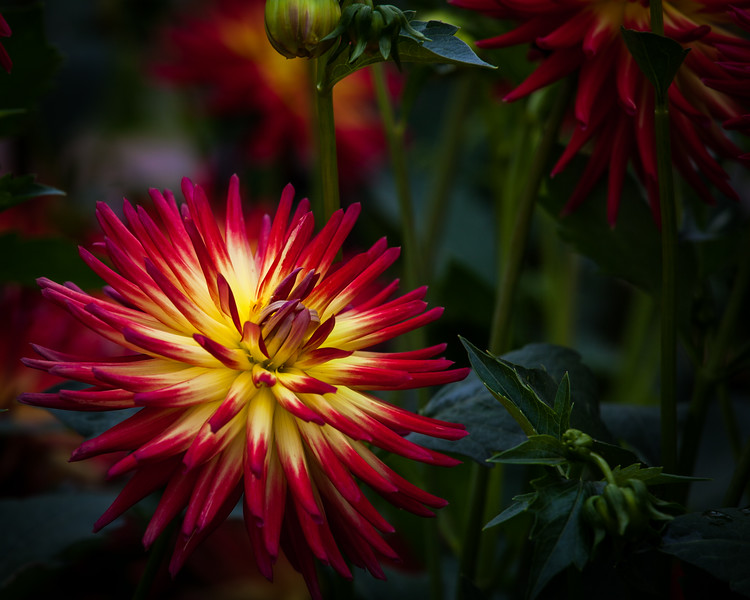 Dahlia 'western Spanish dancer'