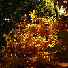 Light Streaming Through Autumn Leaves<br /> <br /> Photographer's Name: Morgan M. Elbert<br /> Photographer's City and State: Alexandria, IN