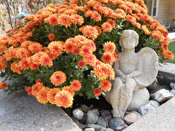 there is an angel among the mums, she sits enjoying the lovely fall days.<br /> <br /> Photographer's Name: Linda Dickey<br /> Photographer's City and State: Anderson, Ind.
