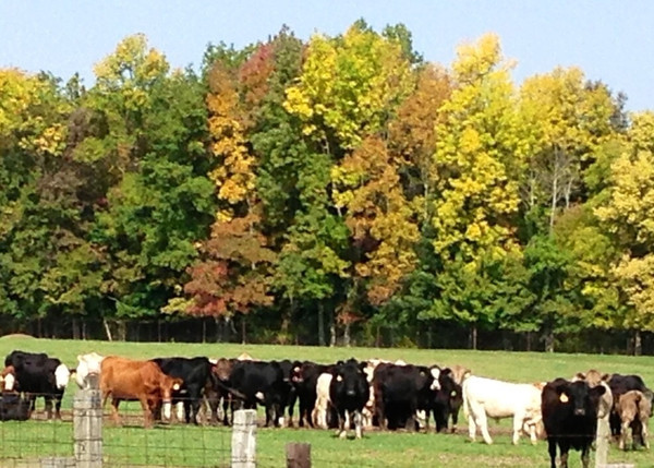 I was driving around the barn lot on a beautiful, fall sunny day and took this picture of our cows and calves against the woods. The colors are amazing!<br /> <br /> Photographer's Name: Mary Kelich<br /> Photographer's City and State: Elwood, IN