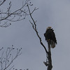 A bald eagle spotted on 1000N near Alexandria.<br /> <br /> Photographer's Name: Karla Condon<br /> Photographer's City and State: Alexandria, Ind.