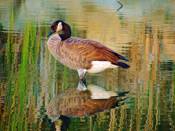 Another pose of our goose in the autumn setting sun.<br /> <br /> Photographer's Name: Sharon Markle<br /> Photographer's City and State: Markleville, Ind.
