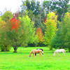 Horses in a fall field.<br /> <br /> Photographer's Name: Brian Fox<br /> Photographer's City and State: Anderson, Ind.