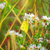 Butterfly on a small daisy.<br /> <br /> Photographer's Name: Brian Fox<br /> Photographer's City and State: Anderson, Ind.