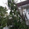 A giant sunflower at the front corner of a house at 503 Ruddle Ave. <br /> <br /> Photographer's Name: Robert Torongeau<br /> Photographer's City and State: Anderson, Ind.
