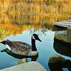 Our solitary goose in the autumn setting sun.<br /> <br /> Photographer's Name: Sharon Markle<br /> Photographer's City and State: Markleville, Ind.