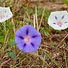 Ipomoea purpurea (2 of 3 color forms here) - Dinwiddie