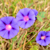 Ipomoea purpurea (one of 3 color forms here) - Dinwiddie