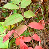 Rhus michauxii (Michaux's Sumac) - Federally Endangered shrub - Dinwiddie