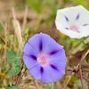 Ipomoea purpurea (2of 3 color forms here) - Dinwiddie