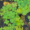 Marsilea mutica (water clover fern) - looks nothing like a fern! - Fairfax