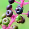 Phytolacca americana (pokeweed)