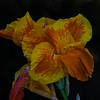 canna lily elizabeth park