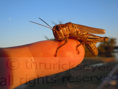 This is the grasshopper seen in another photo after I let him climb on my finger.  He was chewing on my finger.  You can see some of the white chunks of skin he managed to loosen with his mandibles just in front of his head.