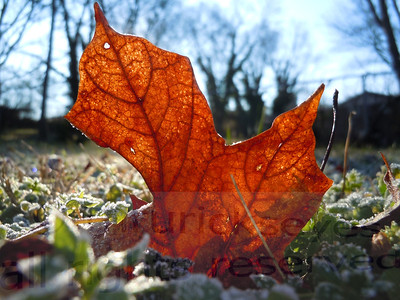 January 15, 2012 - a brisk, frosty morning. Some of the leaves in our back yard were just begging to be in a photo.