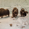 Christmas in Gardner - December 23-27, 2009<br /> Musk Oxen and Arctic Fox standoff at Cabela's.