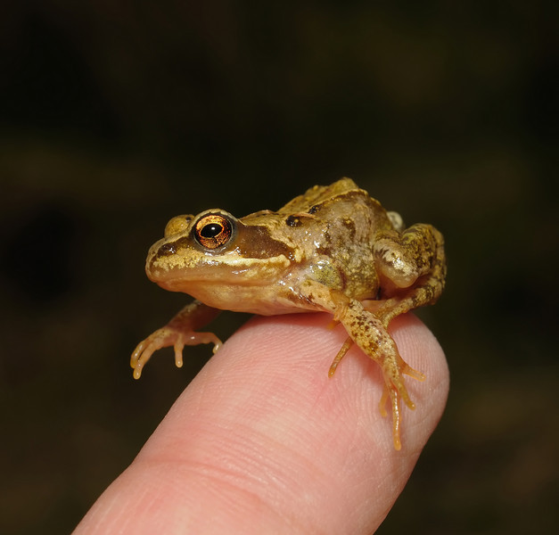 Common Frog, May