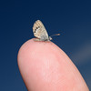 Western Pygmy Blue - Brephidium exilis, Arizona, November
