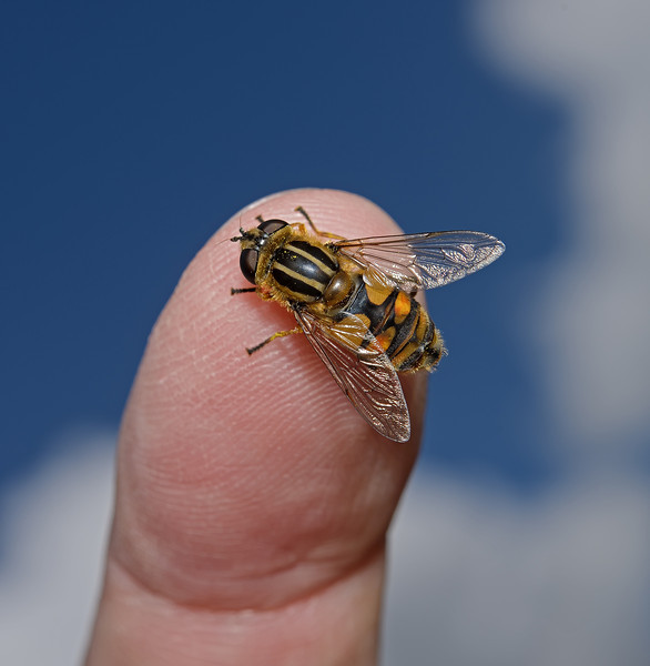 Hoverfly - Helophilus sp, May