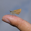 Large Skipper, August