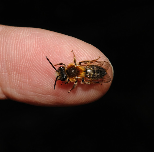 Andrena nitida, April