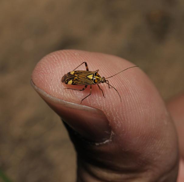 Rhabdomiris striatellus, May