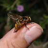 Volucella inanis male, August