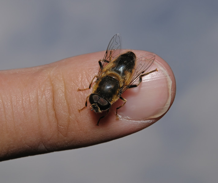 Hoverfly - Eristalis sp, April