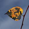 Silver Birch, October