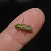 Rhogogaster viridis, June