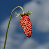 Wild Strawberry, June