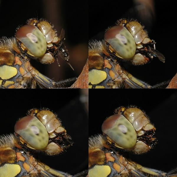 Common darter - Sympetrum striolatum, August