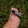 Narrow-bordered Five-spot Burnet, June