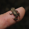 Common Frog, June