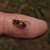 Hoverfly - Epistrophe eligans, May
