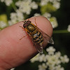 Hoverfly, May