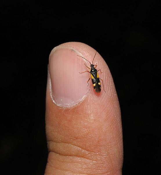 Dryophilocoris flavoquadrimaculatus, May